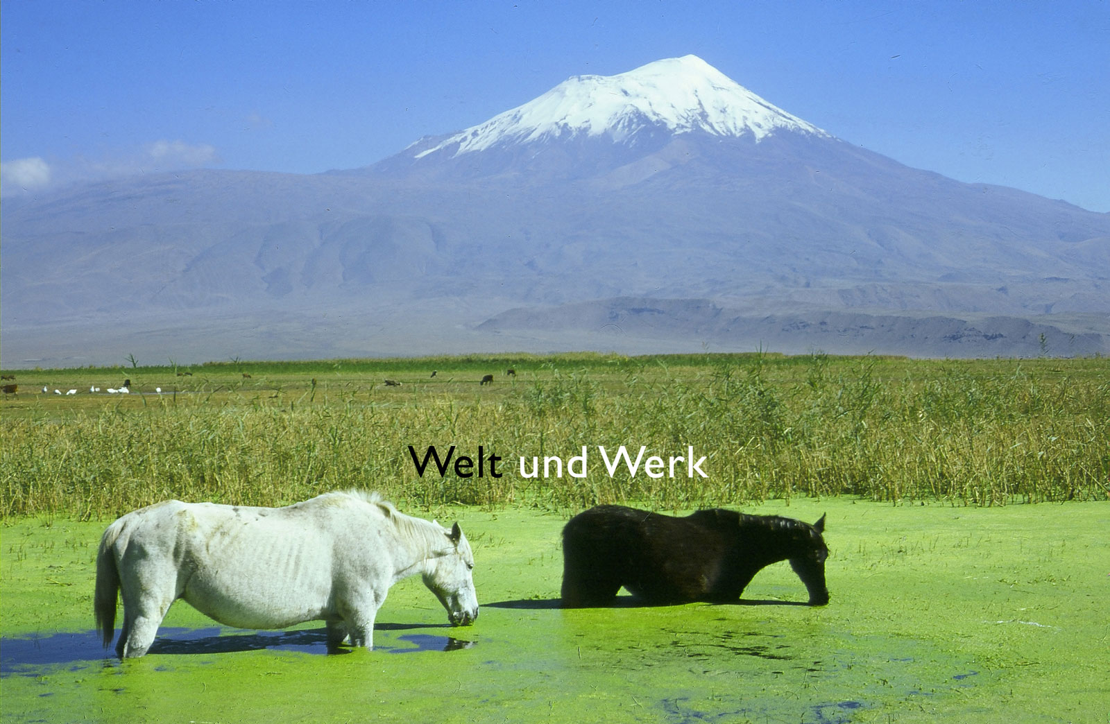 Ararat_Pferde